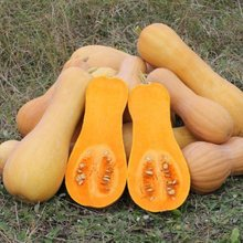 Fresh Butternut Squash for sale at good price