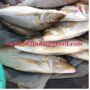 Frozen Parrot Fish whole round for sale_Vietnam_Skype: giahan3121
