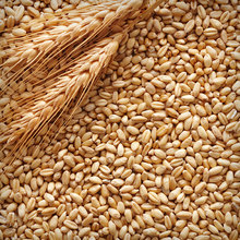 barley/bulk grain for sale