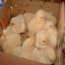 1 Day Old Layer Chicks, Broiler Day Old Chicks for Sale/COMMERCIAL