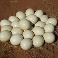 Fertile Ostrich Eggs And Chicks For