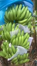 Subtropical Banana - Nothern Viet Nam