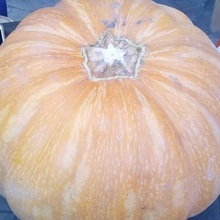 egyptian fresh pumpkin high quality (A)