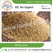 Alfalfa Seed / Alfalfa Seed for Sale at Affordable Price