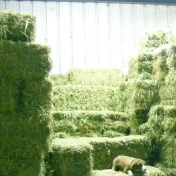 Top Quality Alfafa Hay for Animal Feeding Supply From Philippines