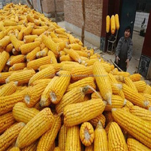 BULK DRIED YELLOW CORN / YELLOW MAIZE FOR ANIMAL FEED GRADE
