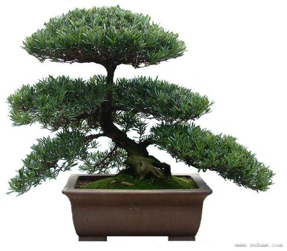 Podocarpus Bonsai/Money Three