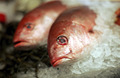 Amazing IQF Red snapper fish with good rates