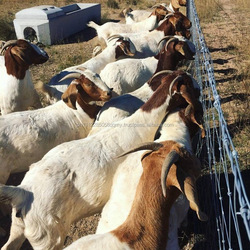 100% Healthy Pure Breed Live Boer Goats For Sale