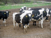 livestock Healthy Live Dairy Cows and Pregnant Holstein Heifers Cow/Boer Goats, Live Sheep, Cattle, Lambs for Sale