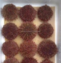 sea urchin live from Chile