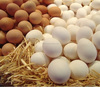 chicken egg hatching, Fertile Chicken Hatching Eggs, hatchine egg, Incubating and Hatching Eggs , Chicken incubating eggs,