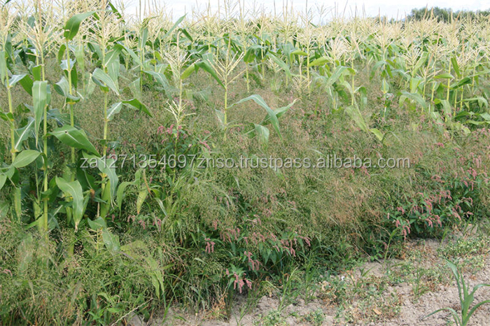 Yellow broomcorn millet