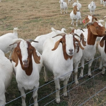 Livestock Full Blood Boer Goats for sale 2018