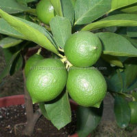 Kaffir Lime 100% Pure and Natural Essential Oil