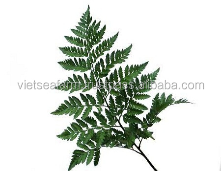 Fresh Fern Leaves Exporting - High Quality with Low Price