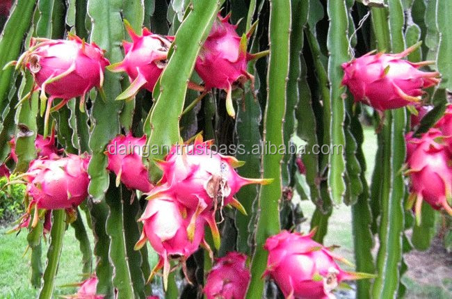 Fresh Dragon fruit high quality from Vietnam 2017