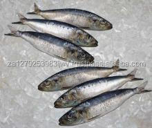 Frozen Sardine Fish /Whole Frozen Atlantic Herring / Whole Round Sardine Fish