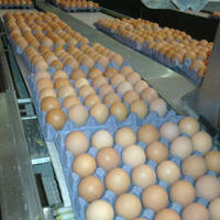 Broiler Hatching Chicken Eggs Cobb 500
