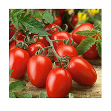 Rio Grande Big Red Color Egg Type Fruit Roma Tomato Seed High Quality and TURKEY Production Vegetable Seeds