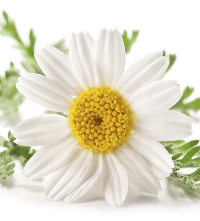 Chamomile waterborne extract powder freeze-dried extract 100% organic premium quality