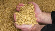 Good quality bulk barley grain for beer / Barley grain for Animal feed