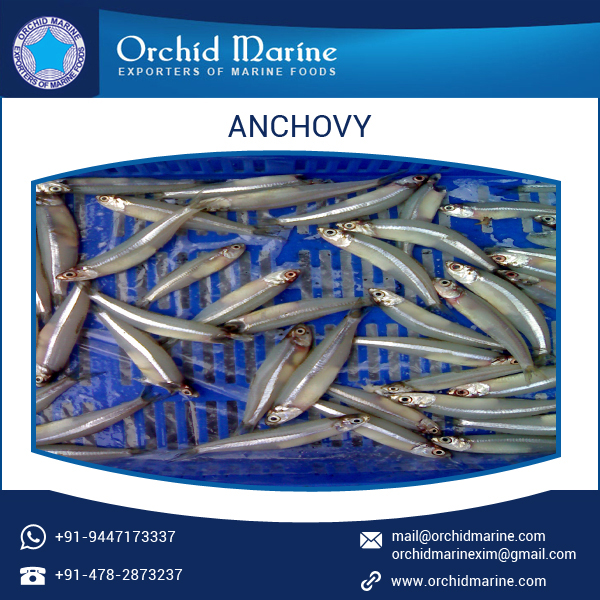 Hygienically Processed Pure and Healthy Frozen Fish Anchovy at Best Cost