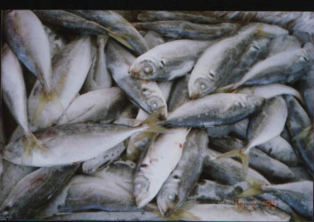Atlantic Frozen Salmon /Horse Mackerel Fish,Pacific Hake Fish