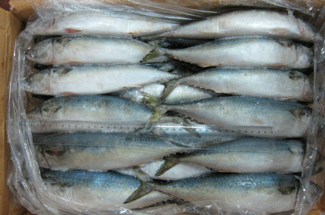 Frozen Fresh Seafood 20cm+ Horse Mackerel Fish Products with Competitive Prices