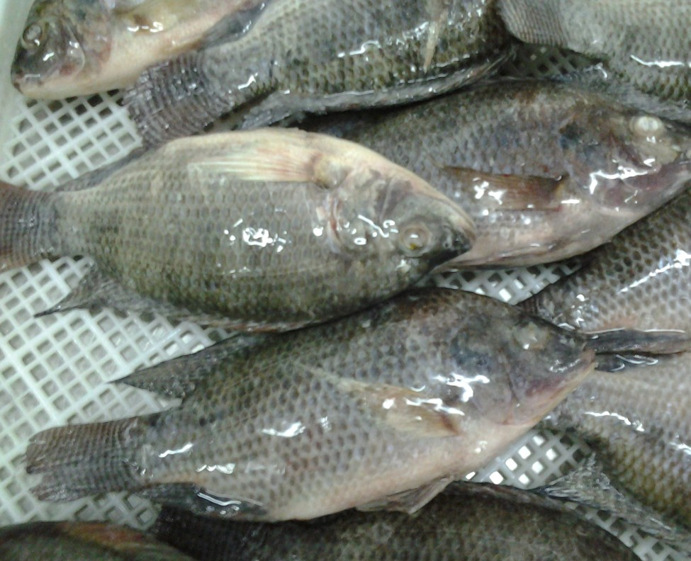 Best Quality Quality Frozen Tilapia and Makerel fish
