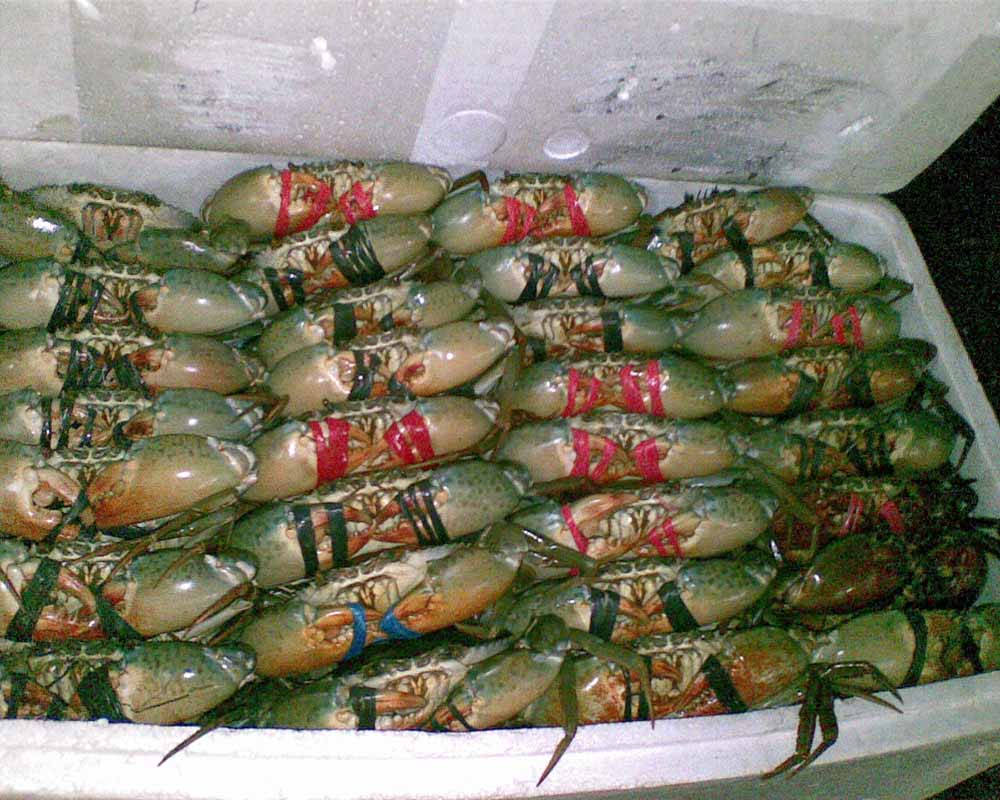 Hot Sale Live Mud Crabs /Live Seafood
