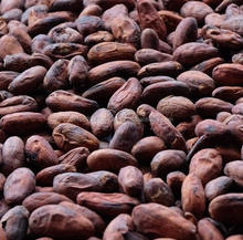 SGS Certified Best Cocoa bean and cacao nibs best offer best quality HACCP, ISO , GMP