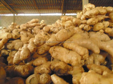 FRESH GINGER 100GR CROP 2017. Tel/ whatsapp: 0084 907 886 929. E : swan120488 at gmail.com