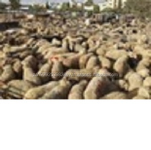 Awassi Sheep ,Fat Tail Awassi Sheep ,Live Healthy Awassi Sheep for sale