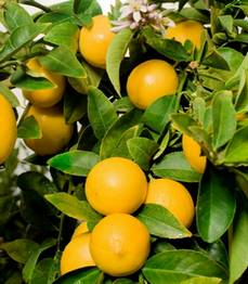 Fresh Eureka Lemon from Israel - Planet Israel