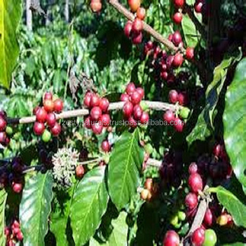 INDIAN ORGANIC COFFEE BEANS ROBUSTA CHERRY / AB/ PB GRADE UNROSTAED