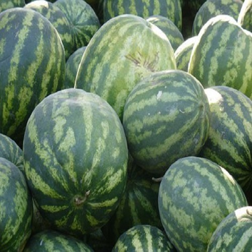 Fresh Cantaloupe Melon/High Quality Fresh Water Melon/Watermelon
