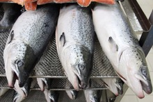 Best Price Whole Frozen Salmon Fish/ Salmon Fillet /Salmon Head For Sale