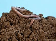 Earthworm For Sell