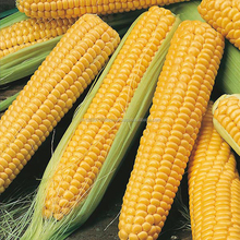 top sale Yellow corn/white corn maize for animal/human feed grade