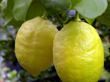 Fresh Yellow Eureka Lemon For Sale