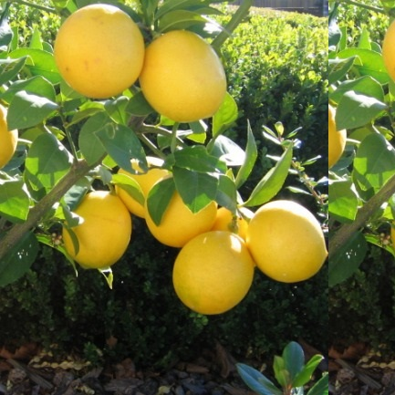 Fresh Lemon Villa Franka, Jaffa, from Israel - Planet Israel