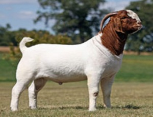 100% Full Blood Boer Goats, Live Sheep, Cattle, Lambs Ready for Export