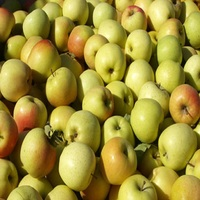 GOLDEN DELICIOUS APPLE FOR SALE