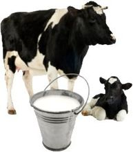 Cow fresh milk/cooked/Raw