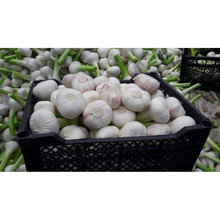 Egyptian exporters china natural Violet Garlic