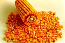 Best Grade Yellow Corn / Yellow Maize (Non GMO Yellow Corn)