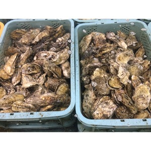 Sweet Delicious Wholesale Oyster Shells, 1 Year Fresh Oyster Meat In Shell