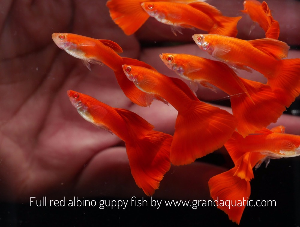 Full red albino guppy for Freshwater Aquarium fish export company from Thailand