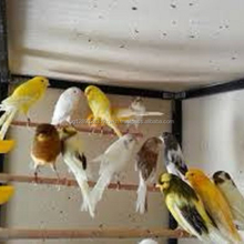 Live Canary Birds, Yorkshire, Lancashire,Finches, Lovebirds, Waterslager Canary